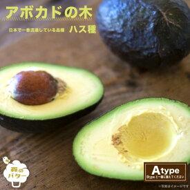 【アボカド苗木】 ハス 接木苗 果樹苗木 森のバター