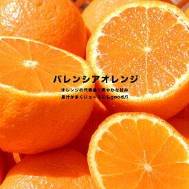 オレンジ 苗木 バレンシアオレンジ 1年生 接ぎ木 苗 果樹 果樹苗木