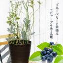 ■送料無料■ ブルーベリー 苗木アベックブルーベリー ( 2本植え ) フレグラーポット ラビットアイ系 果樹 果樹苗木
