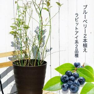 【アベックブルーベリー (2本植え)】 ラビットアイ系 鉢植え フレグラーポット
