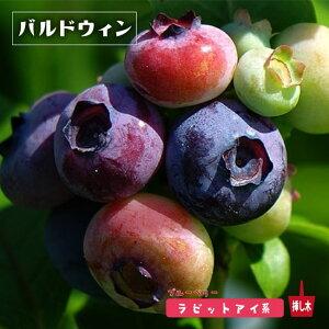 【 ブルーベリー 苗木 】 バルドウィン ラビットアイ系 2年生苗
