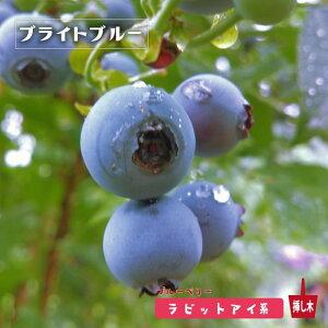 【ブライトブルー】 ラビットアイ系 2年生挿木苗 ブルーベリー