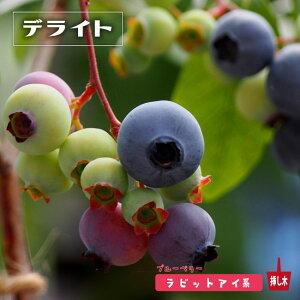 【デライト】 ラビットアイ系 2年生挿木苗 ブルーベリー
