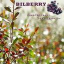 ■掘り出しもの■【 ブルーベリー 苗木 】 ワイルドブルーベリー ビルベリー 根巻き苗