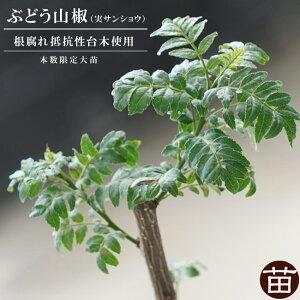 山椒 サンショウ 苗 ぶどう山椒 根腐れ抵抗性台木使用 3年生 接ぎ木 大苗