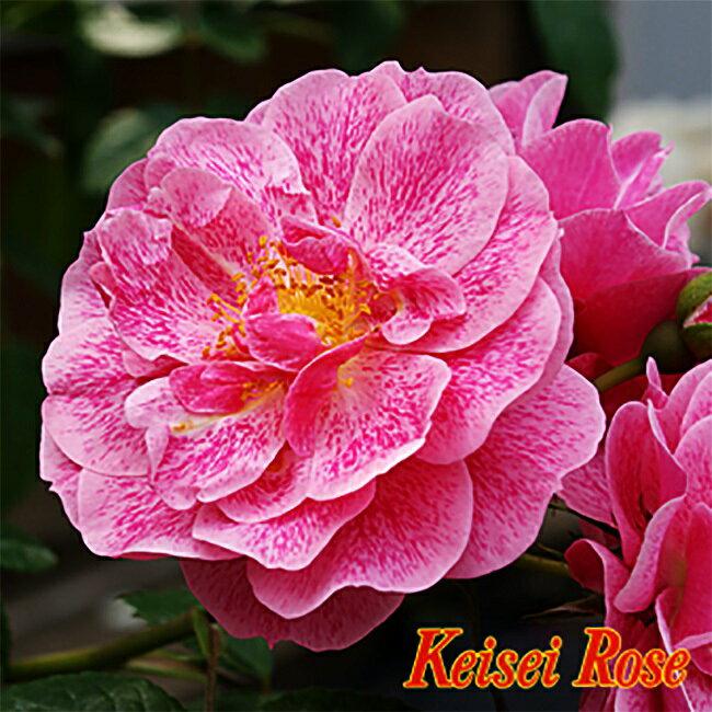 【バラ苗】 キャメロット 7号スリット大苗 つるバラ 【京成バラ】 強健 バラ 苗 薔薇