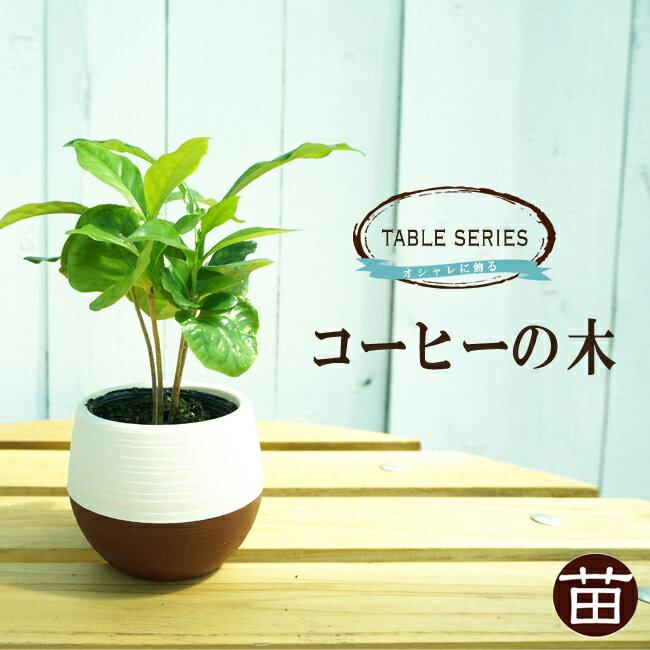 ■珍しい 観葉植物■コーヒーの木 (ブルーマウンテン) テーブルシリーズ 3号ポット苗 (鉢カバー付) 果樹苗木 果樹苗 観葉植物 coffee インテリアグリーン