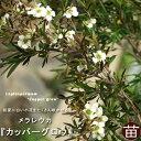レプトスペルマム (メラレウカ)カッパーグロウ庭木 常緑樹 低木 庭【西濃運輸お届け】【北海道・沖縄・離島不可】
