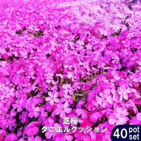 ■送料無料■ 芝桜 ( シバザクラ ) ダニエルクッション 3号ポット苗 40ポットセット 宿根草 苗 多年草 耐寒性 常緑 グランドカバー