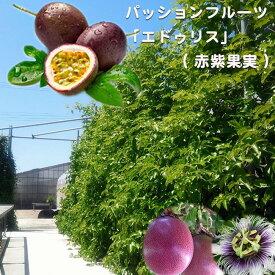 パッションフルーツ 苗 「エドゥリス」 ( 赤紫果実 ) ポット 苗 果樹苗木 果樹苗 トケイソウ 緑のカーテン