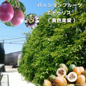 パッションフルーツ 苗 「エドゥリス」 ( 黄色果実 ) ポット 苗 果樹苗木 果樹苗 トケイソウ 緑のカーテン