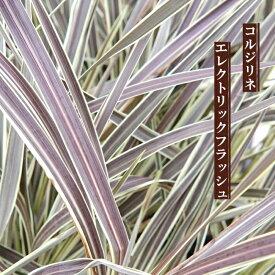 コルジリネ(ドラセナ) エレクトリックフラッシュ ポット大苗 インテリアプランツ 観葉植物