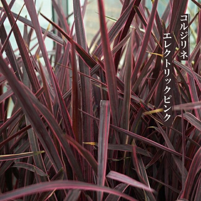 コルジリネ(ドラセナ) エレクトリックピンク ポット苗 インテリアプランツ 観葉植物