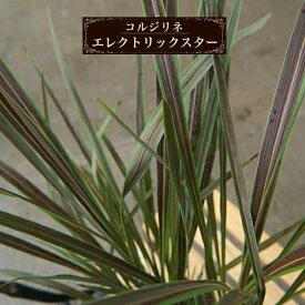 コルジリネ(ドラセナ) エレクトリックスター ポット苗 インテリアプランツ 観葉植物