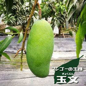 マンゴー苗「玉分(ぎょくぶん)」