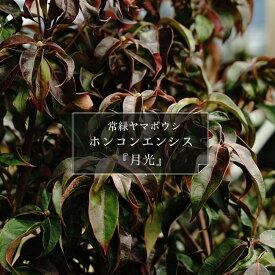 ヤマボウシ 常緑ヤマボウシホンコンエンシス【月光】 【里の木シリーズ】庭木 常緑樹 シンボルツリー