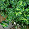 Variegated serissa pot seedling trees Evergreen hedges blindfold ground cover shrub