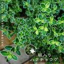 斑入りハクチョウゲポット苗 生垣 目隠し グランドカバー 低木 庭木 常緑樹