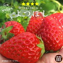 いちご 苗 【四季成り性】よつぼし 3号ポット苗 イチゴ 苺