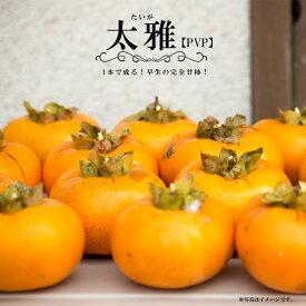 【 柿 苗木 :完全甘柿】 太雅 (たいが) PVP 1年生 接ぎ木苗 果樹