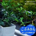 【みかん苗木】 こぶみかん(バイマックルー) 7号鉢植え コブミカン 果樹苗木 柑橘