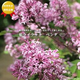 四季咲き 姫ライラック ペンダ PVP 桃紫花 矮性品種 ポット苗 庭木 落葉樹 【観賞花木】