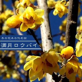 ■送料無料■満月ロウバイ根巻き苗庭木落葉樹低木