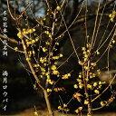 ■送料無料■ 満月ロウバイ 根巻き苗 庭木 落葉樹 低木