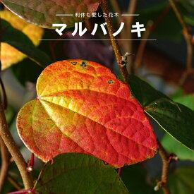 マルバノキ ポット苗 別名:紅万作 (ベニマンサク)