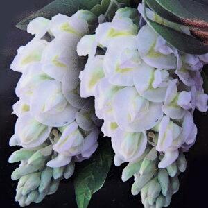 アメリカフジ (花藤) ニベア ポット苗 【二季咲き】 庭木 落葉樹 シンボルツリー