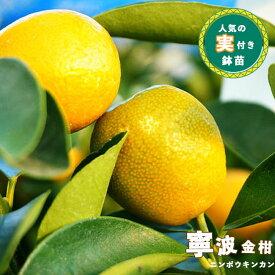 【実付き】にんぽ うきんかん ( 寧波金柑 ) 2年生 接木 茶鉢苗 苗木 キンカン