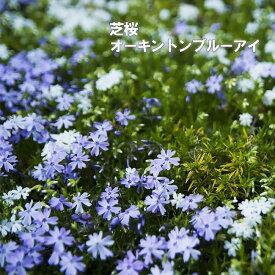 芝桜 ( シバザクラ ) オーキントンブルーアイ 3号ポット苗 宿根草 苗 多年草 耐寒性 常緑 グランドカバー