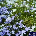芝桜 【オーキントンブルーアイ】 3号ポット苗 40株セット