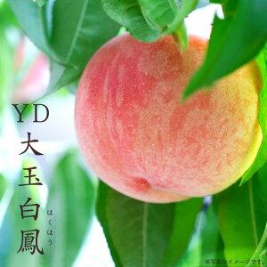 【YD大玉白鳳 (おおだまはくほう)】 桃 (もも) 1年生 わい性台木 接ぎ木 苗木