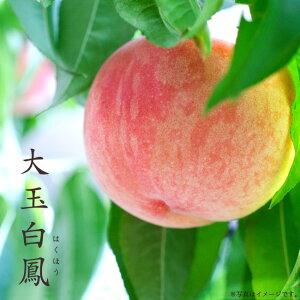 【大玉白鳳 (おおだまはくほう)】 桃 (もも) 1年生 接ぎ木 苗木