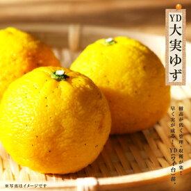 ユズ 苗 柑橘 YD大実ゆず 1年生接木苗 果樹 果樹苗 柚子