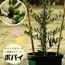 オリーブ 苗 苗木 オリーブの木 ポパイ 【2種植え】 2年生 鉢植え苗 シンボルツリー 庭木 常緑樹