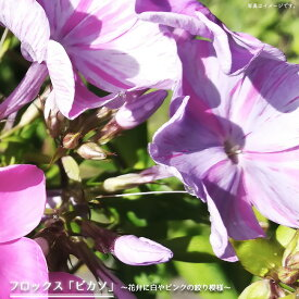 【宿根草】 フロックス ピカソ 6号ポット大苗 多年草 グランドカバー