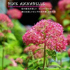 【ピンクのアナベル】 アメリカアジサイ 4号ポット苗