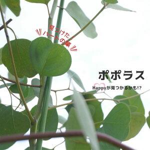"""ユーカリの木 """"ポポラス"""" 3号ポット苗 シンボルツリー 生垣 目隠し 庭木 常緑樹"""