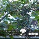 アカシア ミモザプルプレア 3本立ち 株立ち大苗アカシアの木 シンボルツリー 庭木 常緑樹【西濃運輸お届け】【北海道・沖縄・離島不…