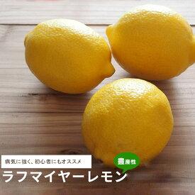 【レモン苗木】 ラフマイヤー 2年生接ぎ木 果樹苗木 檸檬