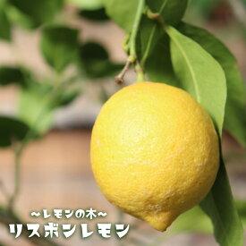 【レモン苗木】 リスボンレモン 2年生接ぎ木苗 果樹苗木 檸檬 6号スリット鉢植え又は角鉢植え
