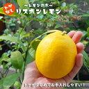 レモン 苗 レモンの木 選抜トゲなし リスボンレモン2年生 接ぎ木 ロングスリット鉢苗