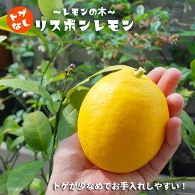 【レモン苗木】 選抜トゲなし リスボンレモン 2年生接ぎ木 ロングスリット鉢苗 果樹苗木 檸檬