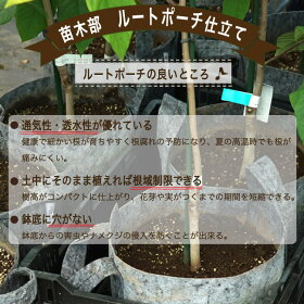 ■限定販売■ライム苗苗木トゲなしライムタヒチライム2年生接木ロングスリット鉢植え苗柑橘類果樹苗果樹苗木