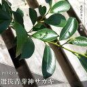 選抜青芽神榊(ホンサカキ) 根巻き苗 生垣 目隠し 庭木 常緑樹