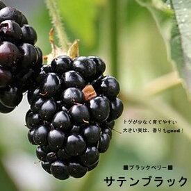 トゲなし ブラックベリー サテンブラック 鉢植え 果樹苗木 果樹苗