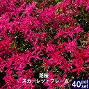 ■送料無料■ 芝桜 ( シバザクラ ) スカーレットフレーム 3号ポット苗 40ポットセット 宿根草 苗 多年草 耐寒性 常緑 グランドカバー
