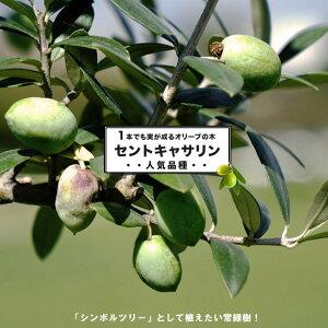 オリーブの木 セントキャサリン 2年生苗 庭木 常緑樹 苗 苗木 常緑樹 鉢植え